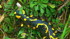 Fire Salamander crossing the green leaves and straw Stock Footage