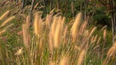 Fountaingrass (Pennisetum) at Seoraksan National Park. Stock Footage
