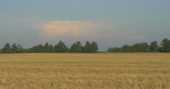 View of Wheat field and trees at Belfountain, Canada Stock Footage