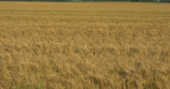 Wheat field in the wind at Belfountain, Canada Stock Footage