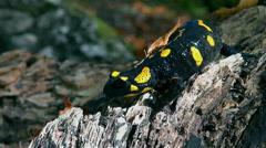 Fire Salamander running hard on the log of wood - stock footage