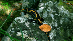Fire Salamander slowly descends from a mountain cliff in the forest Stock Footage