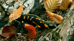 Stock Video Footage of fire salamander, climb the log through dry leaves then look relaxed forest
