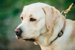 Close Up Adult White Labrador Dog Stock Photos