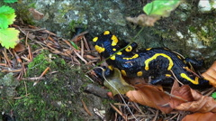 Fire salamander sits between two rocks mountain vegetation Stock Footage