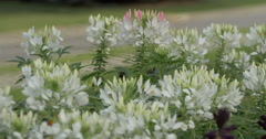 Beautiful view of white flowers in the wind at Kitchener, Canada Stock Footage