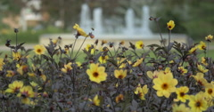 Beautiful view of yellow flowers with dark leaves at Kitchener, Canada Stock Footage