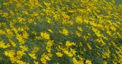 Flower bed with yellow flowers on a windy day at Kitchener, Canada Stock Footage