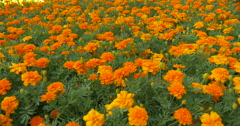 Beautiful flower bed of marigolds at Kitchener, Canada Stock Footage