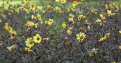Close view of yellow flowers with dark leaves at Kitchener, Canada Stock Footage
