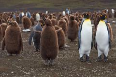 King Penguins - Adults and Chicks Stock Photos
