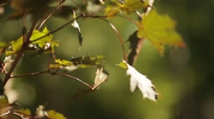 Sunlight breaks through the green leaves of maple - stock footage