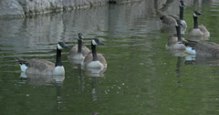 Beautiful view of ducks swimming in the lake at Kitchener, Canada Stock Footage