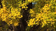 Ginkgo biloba leaves in autumn. South Korea. Stock Footage