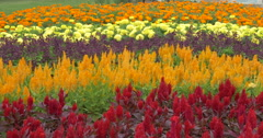 Beautiful view of a colorful flower bed at Kitchener, Canada Stock Footage