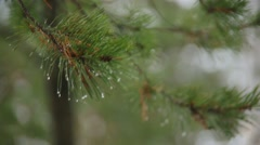 Water drops on pine tree needles Stock Footage