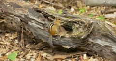 Stock Video Footage of Beautiful view of a chipmunk sitting on a tree trunk at Killbear Provincial Park