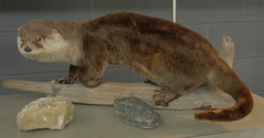View of a stuffed otter at Killbear Provincial Park Stock Footage