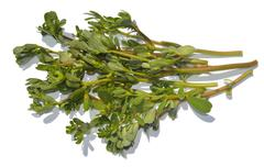 Purslane - stock photo