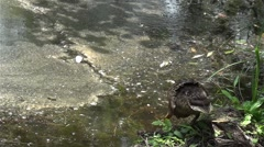 Ducks swimming along under a tree left over water - stock footage
