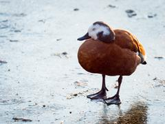 Sleeping Female South African Shelduck on Ice Stock Photos