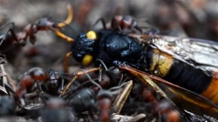 Ants (Formica rufa) are carring  a wasp (Sirex gigas) Stock Footage