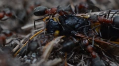 Red ants are carring a big dead wasp (Sirex gigas) Stock Footage