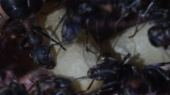 ants with pupae in artificial anthill Stock Footage