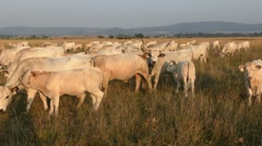 Hungarian Grey Cattles or Steppe Cattles Stock Footage