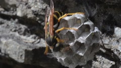 WASP, wasp nest, eggs, parental care, Gran Paradiso National Park, Stock Footage