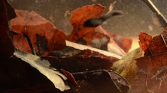 tadpoles, Bufo bufo, toad, underwater, Stock Footage