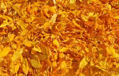 Stock Photo of Dried petals of sunflowers