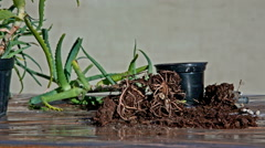 Aloe plant outside the pot with soil around Stock Footage