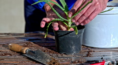 Planting aloe arborescens inside a plastic pot closeup - stock footage