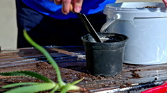 Preparing pot with soil for planting aloe herb closeup - stock footage
