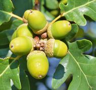 Stock Photo of Green acorns