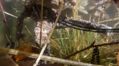 Stock Video Footage of Toad,  Bufo bufo,  laying eggs, coupling, underwater,