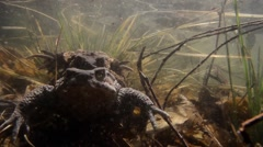 Toad coupling underwater - stock footage