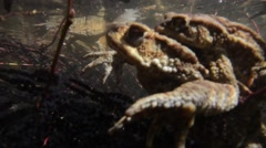 Toads  coupling underwater (Bufo bufo) Stock Footage