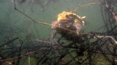 Toads coupling underwater Stock Footage