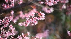 Cherry blossom, sakura flowers - stock footage