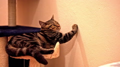 Cat scratching on wall while lying Stock Footage