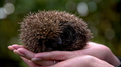 Small hedgehog resting in hand Stock Footage