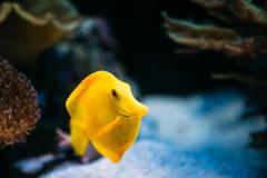 Pomacanthus navarchus blue angel sea fish in aquarium Kuvituskuvat