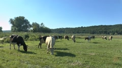 Cows grazing in fresh pastures Stock Footage