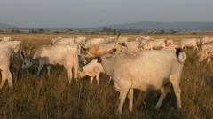 Hungarian Grey Cattles or Steppe Cattles - stock footage