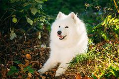 Happy White Samoyed Dog Sitting in tree in Park Stock Photos