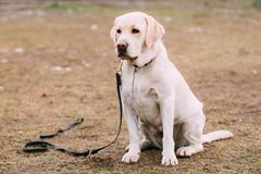 White Labrador Dog sit on ground during training - stock photo