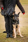German Shepherd Dog stands near owner during training Stock Photos