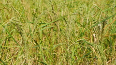panning shot of close up of Rice spike - stock footage